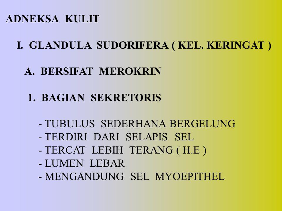 ADNEKSA KULIT I. GLANDULA SUDORIFERA ( KEL. KERINGAT ) A. BERSIFAT MEROKRIN. 1. BAGIAN SEKRETORIS.