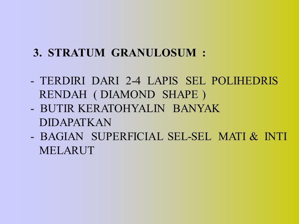 3. STRATUM GRANULOSUM : - TERDIRI DARI 2-4 LAPIS SEL POLIHEDRIS. RENDAH ( DIAMOND SHAPE )