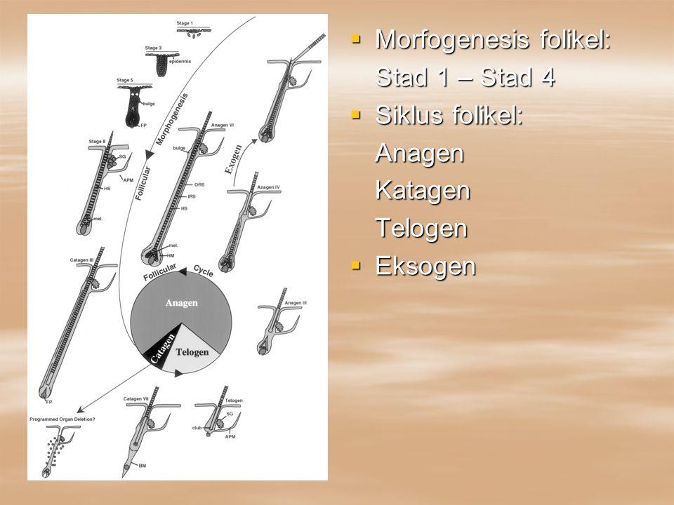 Morfogenesis folikel: