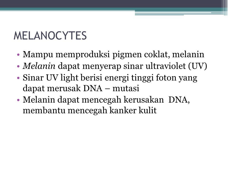MELANOCYTES Mampu memproduksi pigmen coklat, melanin