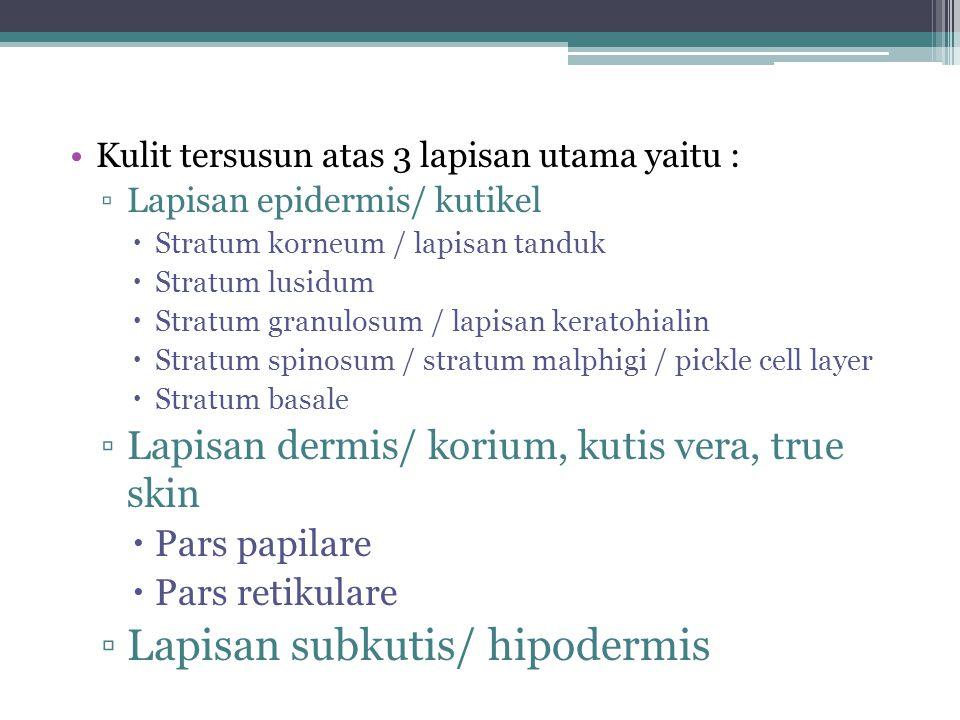 Lapisan subkutis/ hipodermis