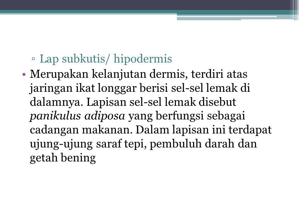 Lap subkutis/ hipodermis