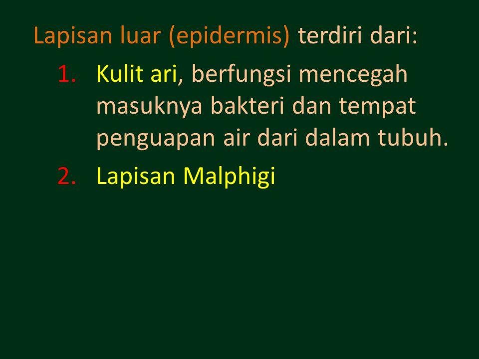 Lapisan luar (epidermis) terdiri dari: