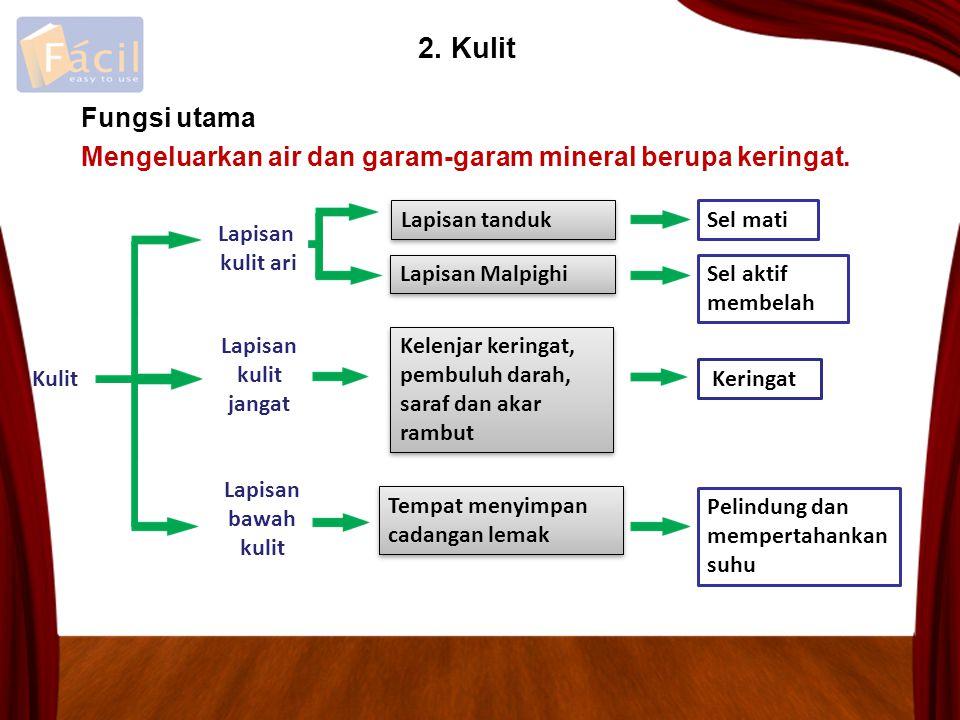 2. Kulit Fungsi utama. Mengeluarkan air dan garam-garam mineral berupa keringat. Lapisan tanduk. Sel mati.