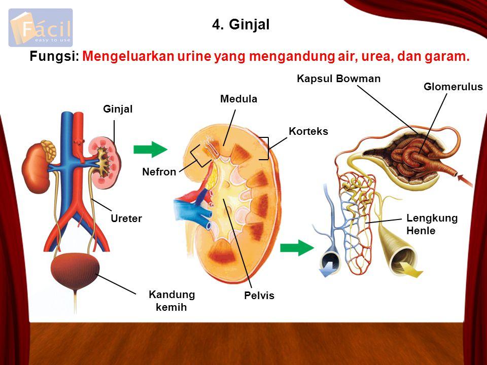 4. Ginjal Fungsi: Mengeluarkan urine yang mengandung air, urea, dan garam. Kapsul Bowman. Glomerulus.