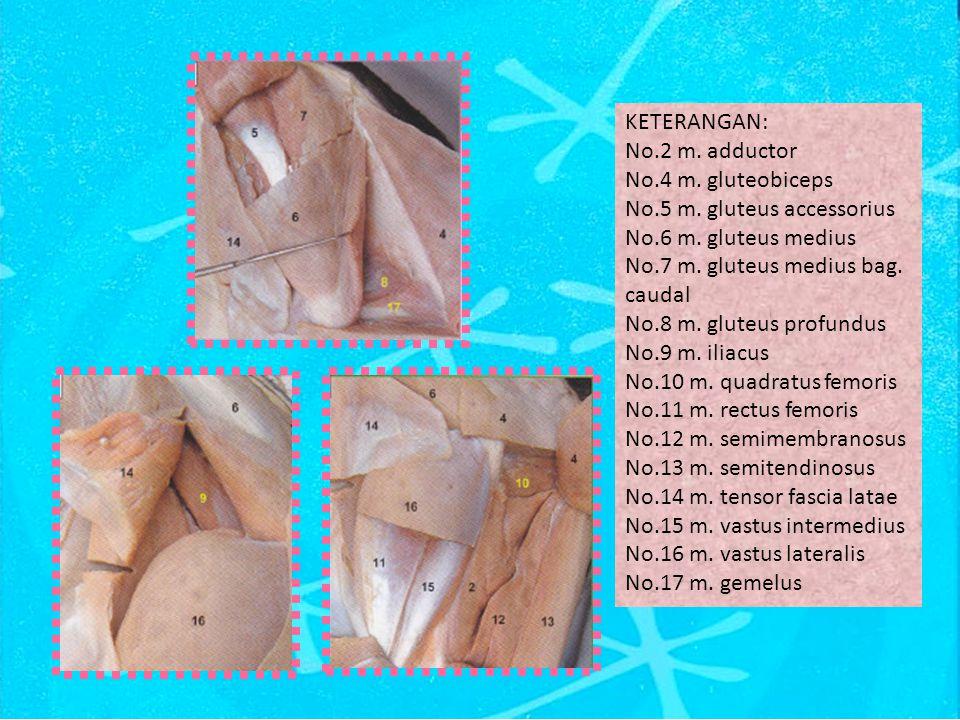 KETERANGAN: No.2 m. adductor. No.4 m. gluteobiceps. No.5 m. gluteus accessorius. No.6 m. gluteus medius.