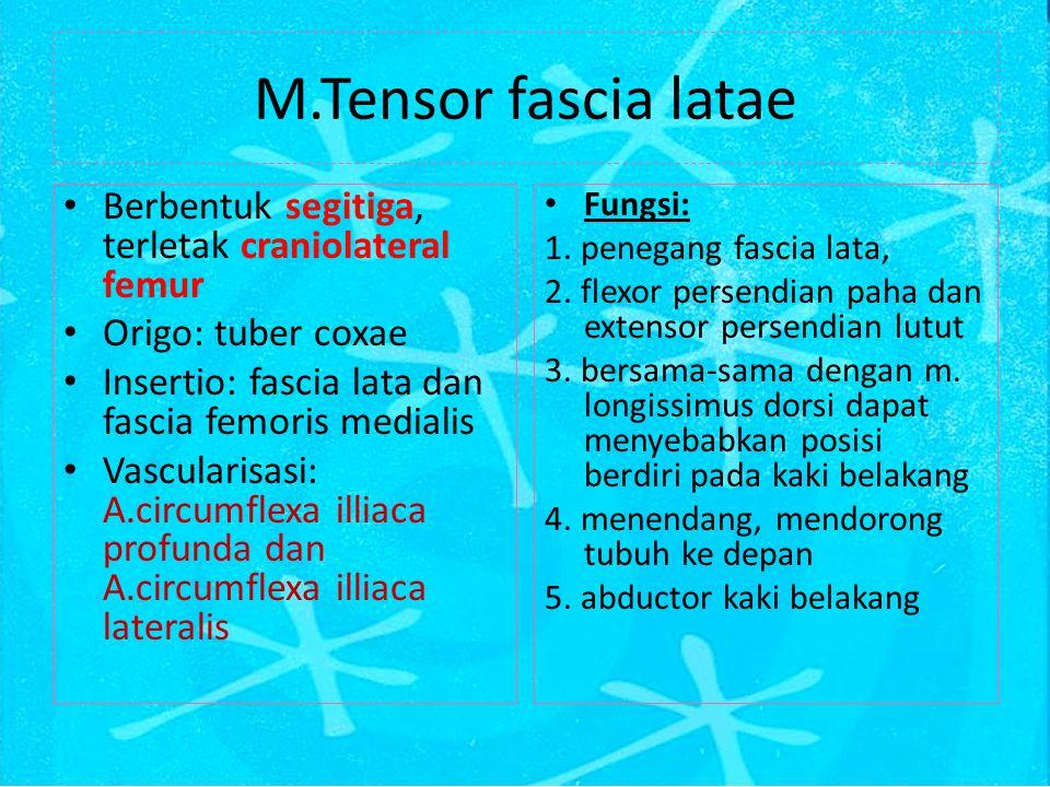 M.Tensor fascia latae Berbentuk segitiga, terletak craniolateral femur