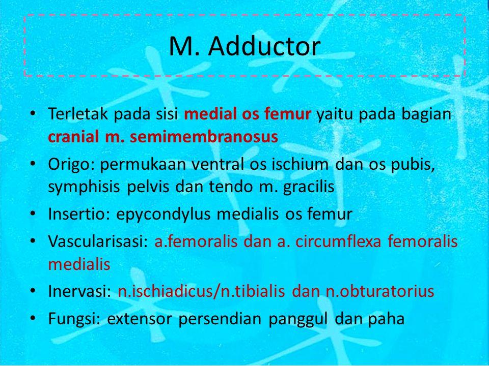 M. Adductor Terletak pada sisi medial os femur yaitu pada bagian cranial m. semimembranosus.