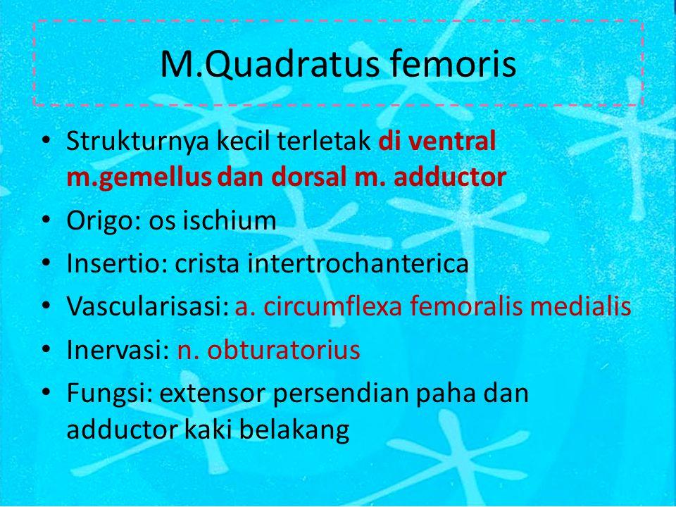 M.Quadratus femoris Strukturnya kecil terletak di ventral m.gemellus dan dorsal m. adductor. Origo: os ischium.