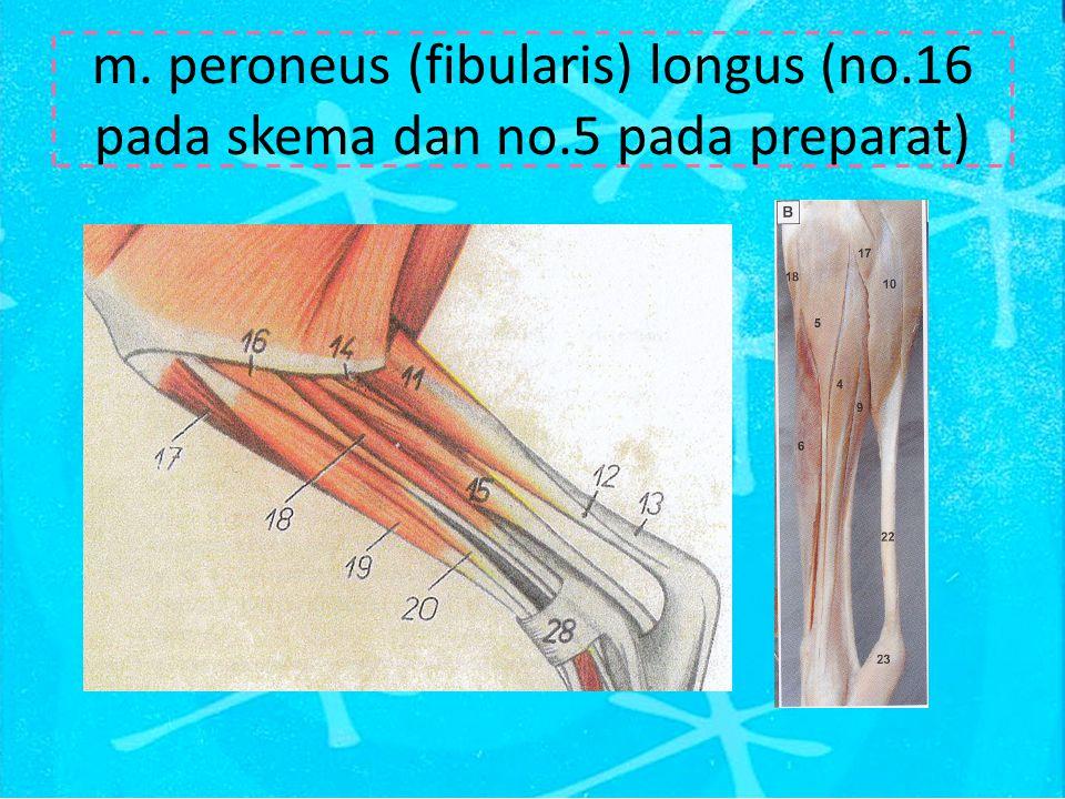 m. peroneus (fibularis) longus (no. 16 pada skema dan no