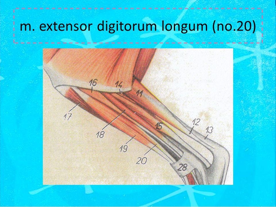 m. extensor digitorum longum (no.20)