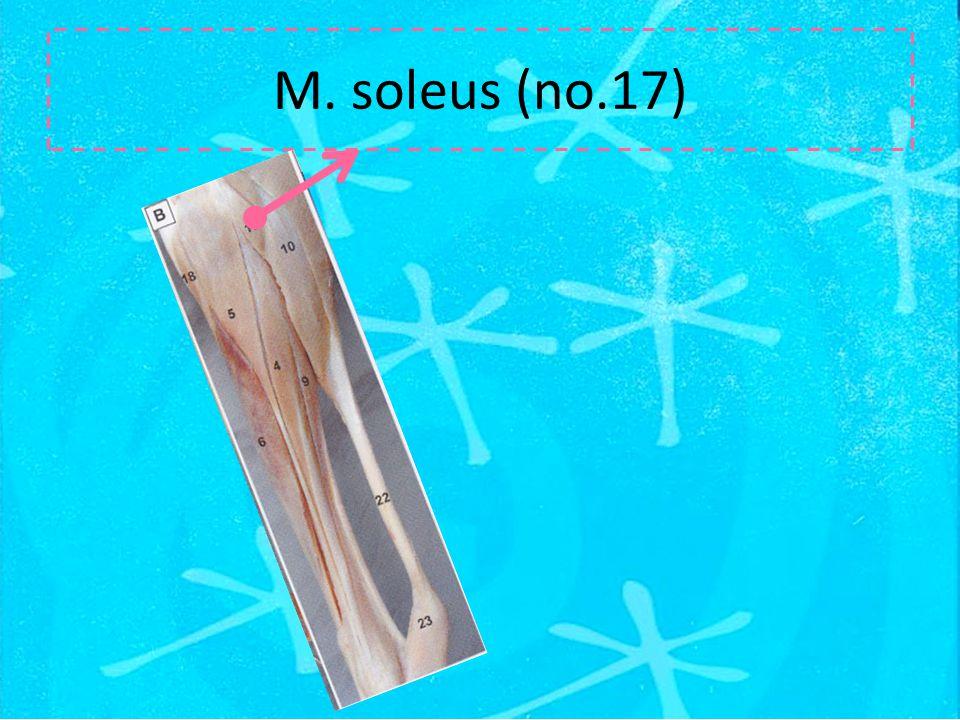 M. soleus (no.17)