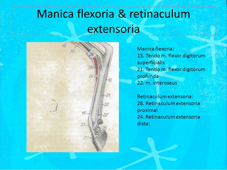 Manica flexoria & retinaculum extensoria