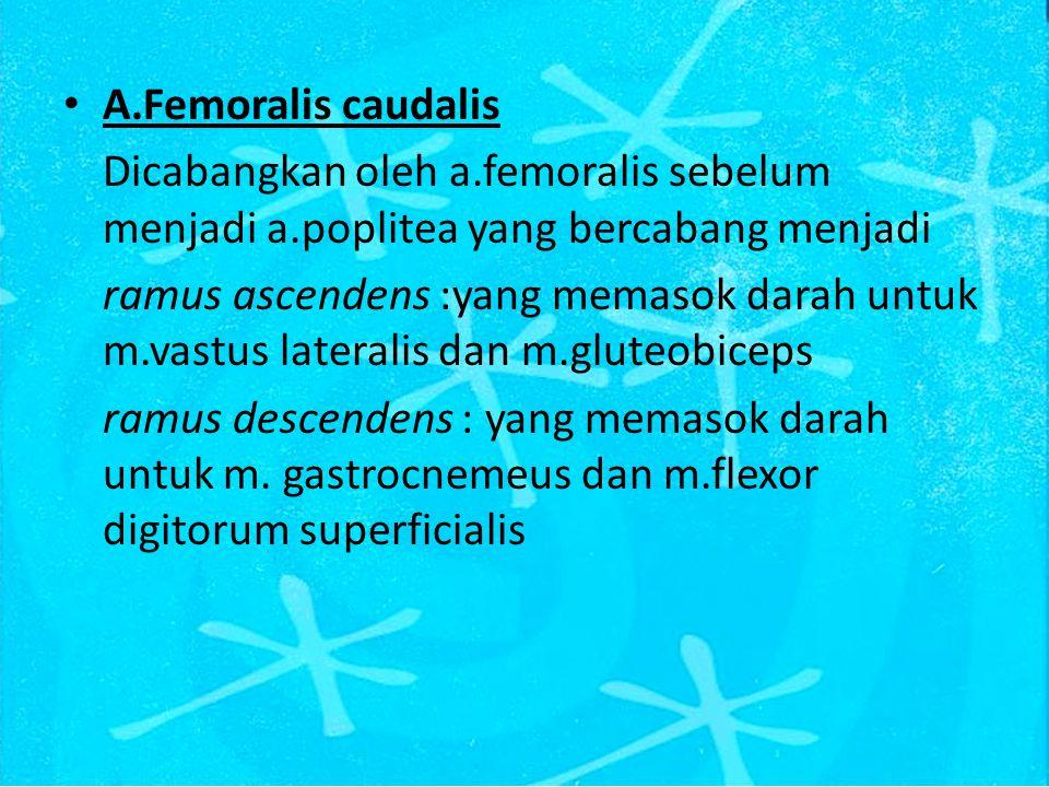 A.Femoralis caudalis Dicabangkan oleh a.femoralis sebelum menjadi a.poplitea yang bercabang menjadi.
