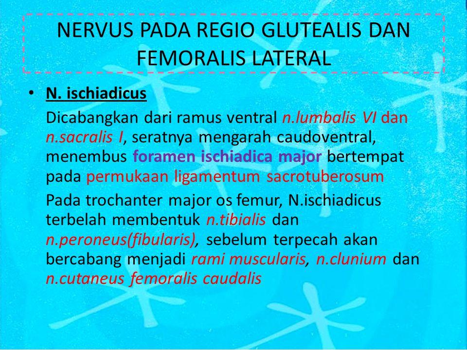 NERVUS PADA REGIO GLUTEALIS DAN FEMORALIS LATERAL