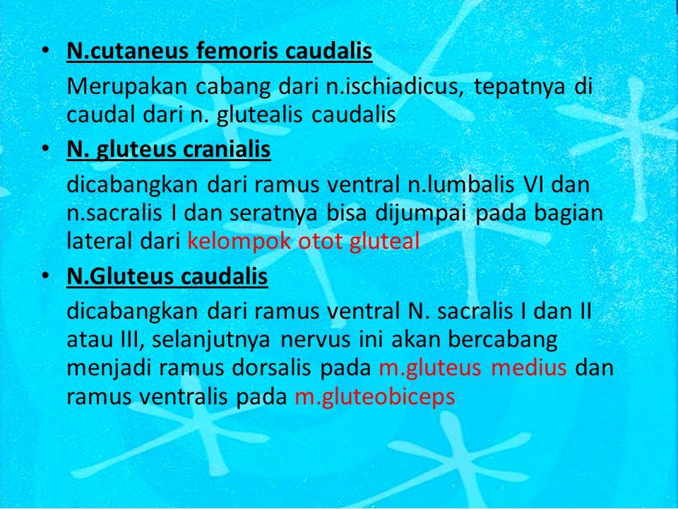 N.cutaneus femoris caudalis