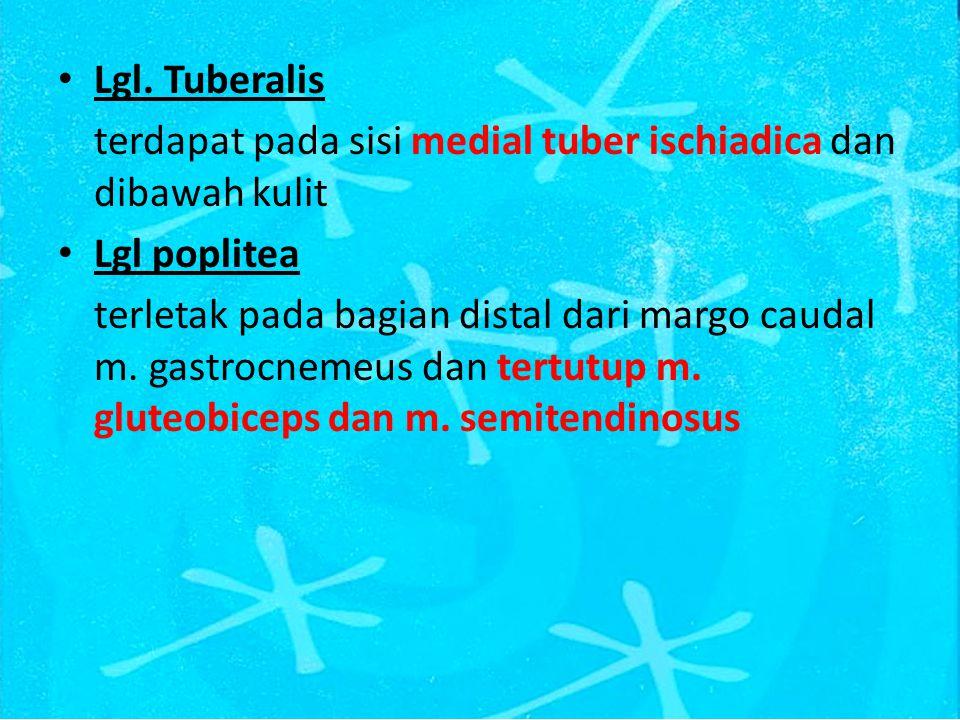 Lgl. Tuberalis terdapat pada sisi medial tuber ischiadica dan dibawah kulit. Lgl poplitea.