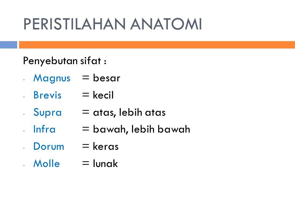 PERISTILAHAN ANATOMI Penyebutan sifat : Magnus = besar Brevis = kecil