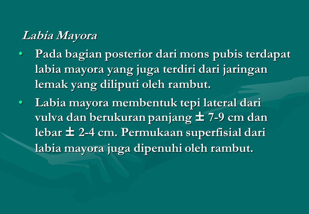 Labia Mayora Pada bagian posterior dari mons pubis terdapat labia mayora yang juga terdiri dari jaringan lemak yang diliputi oleh rambut.