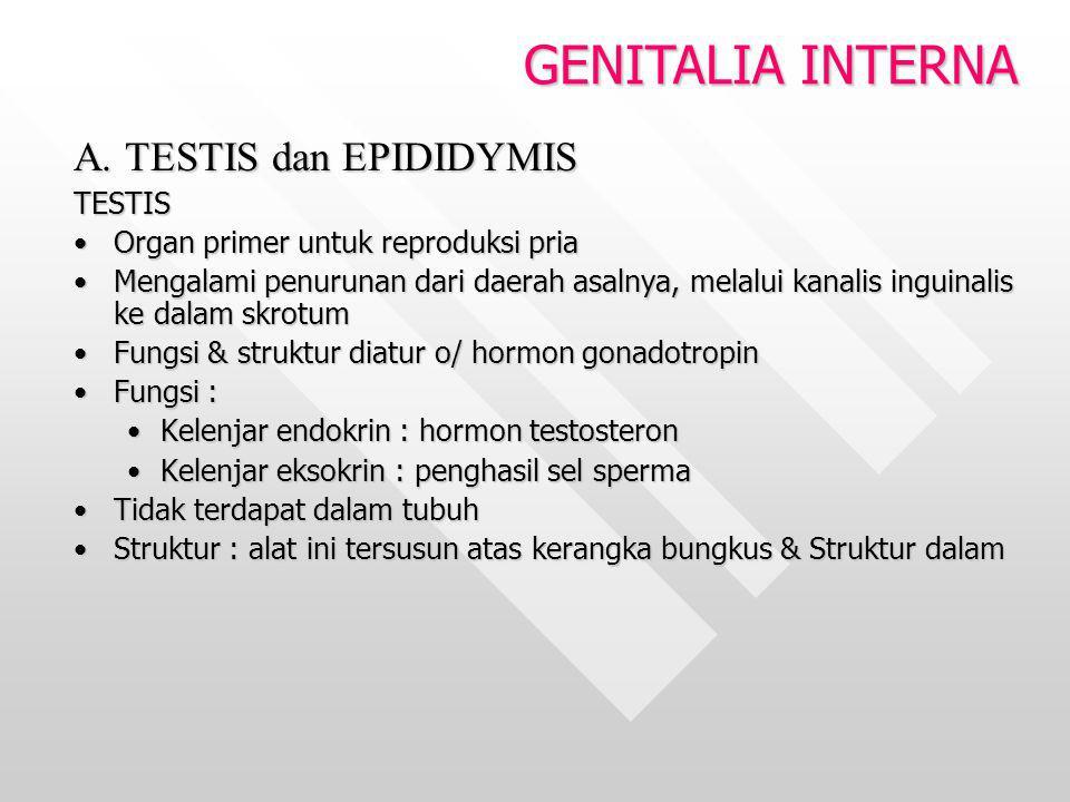 GENITALIA INTERNA A. TESTIS dan EPIDIDYMIS TESTIS