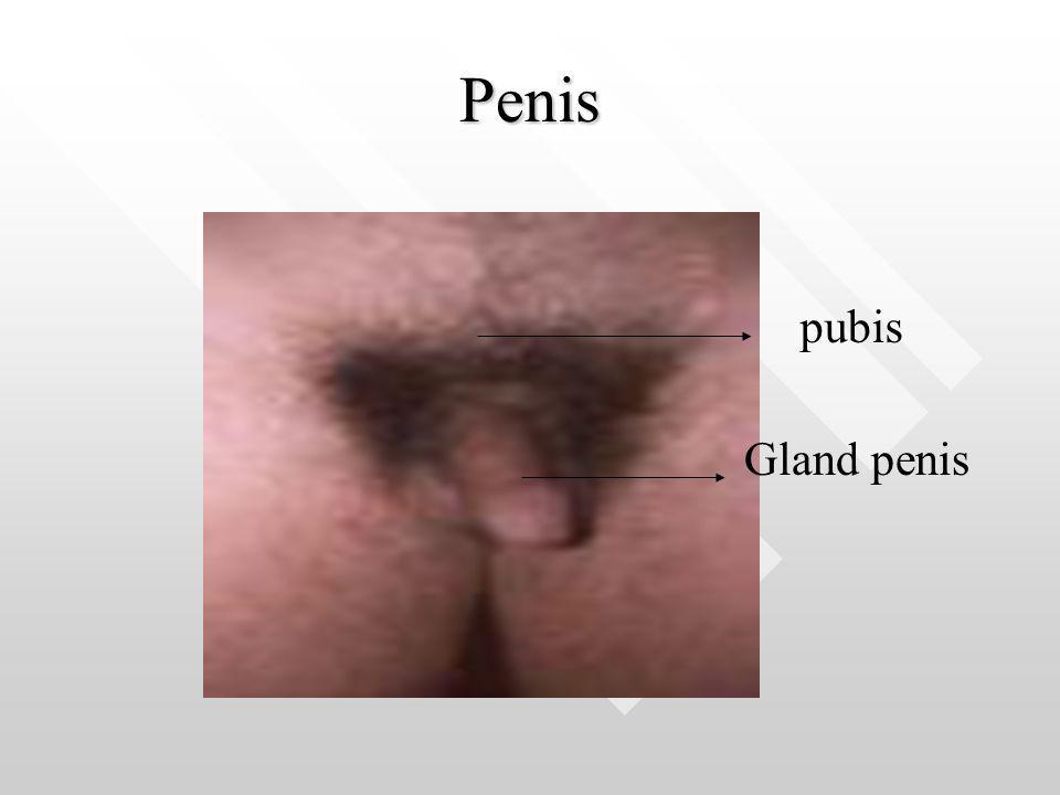 Penis pubis Gland penis