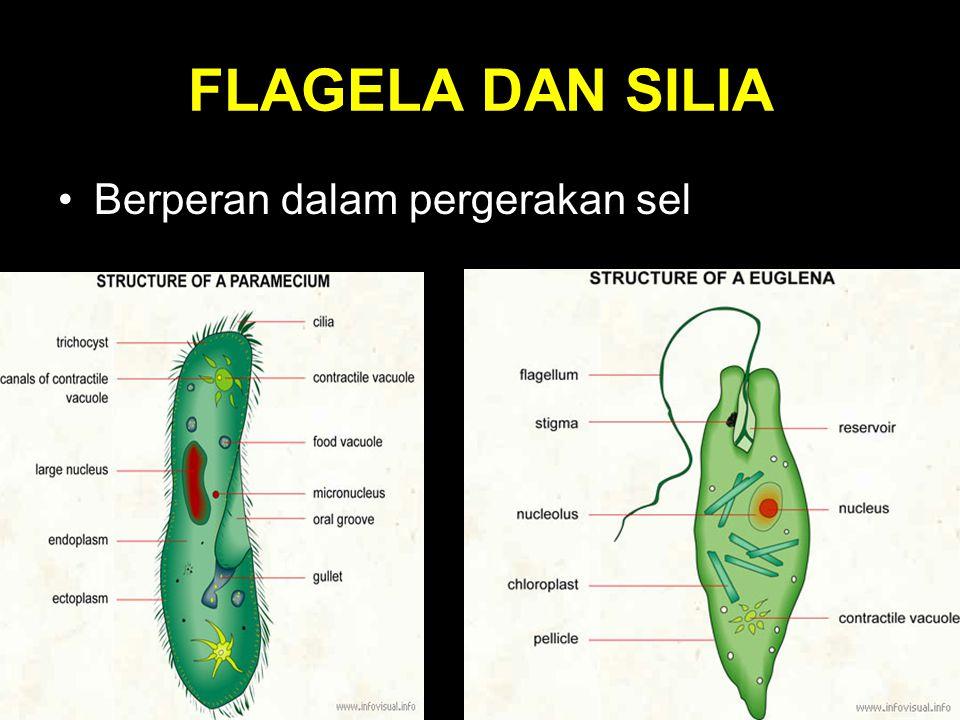 FLAGELA DAN SILIA Berperan dalam pergerakan sel