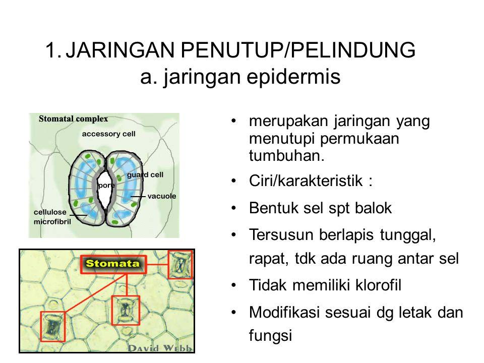 JARINGAN PENUTUP/PELINDUNG a. jaringan epidermis
