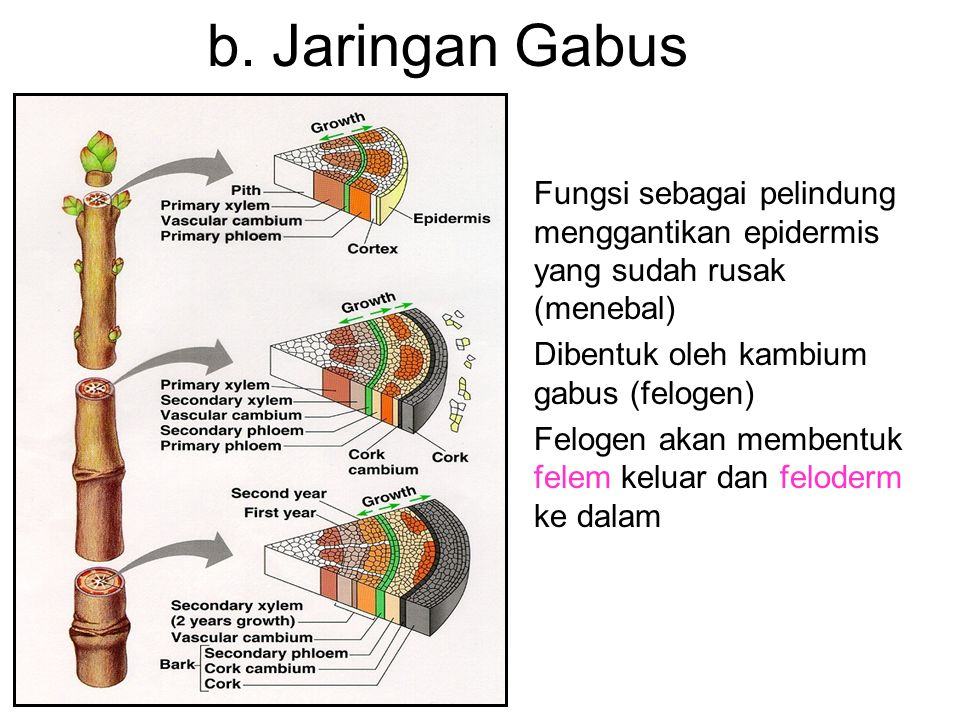 b. Jaringan Gabus Fungsi sebagai pelindung menggantikan epidermis yang sudah rusak (menebal) Dibentuk oleh kambium gabus (felogen)