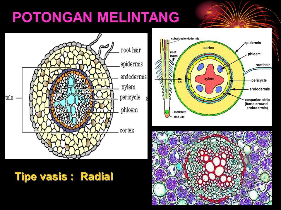 POTONGAN MELINTANG Tipe vasis : Radial
