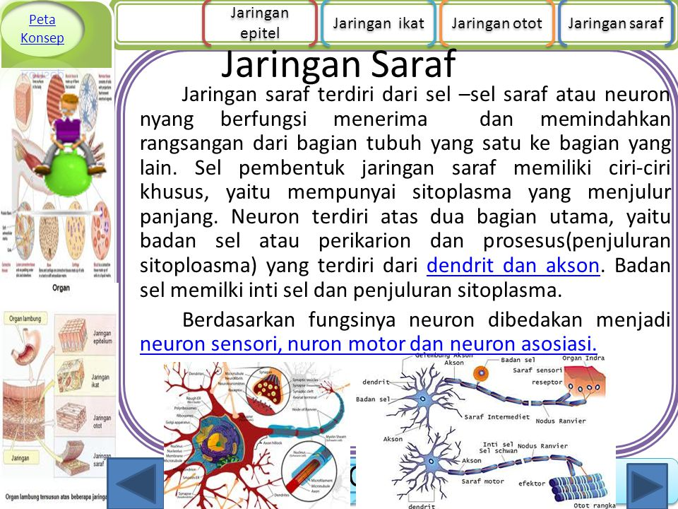 Peta Konsep Jaringan epitel. Jaringan ikat. Jaringan otot. Jaringan saraf. Jaringan Saraf.