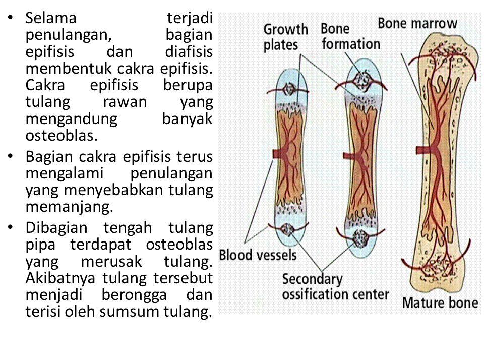 Selama terjadi penulangan, bagian epifisis dan diafisis membentuk cakra epifisis. Cakra epifisis berupa tulang rawan yang mengandung banyak osteoblas.