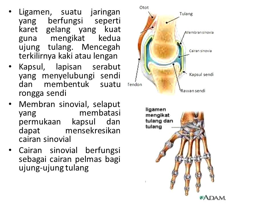Ligamen, suatu jaringan yang berfungsi seperti karet gelang yang kuat guna mengikat kedua ujung tulang. Mencegah terkilirnya kaki atau lengan