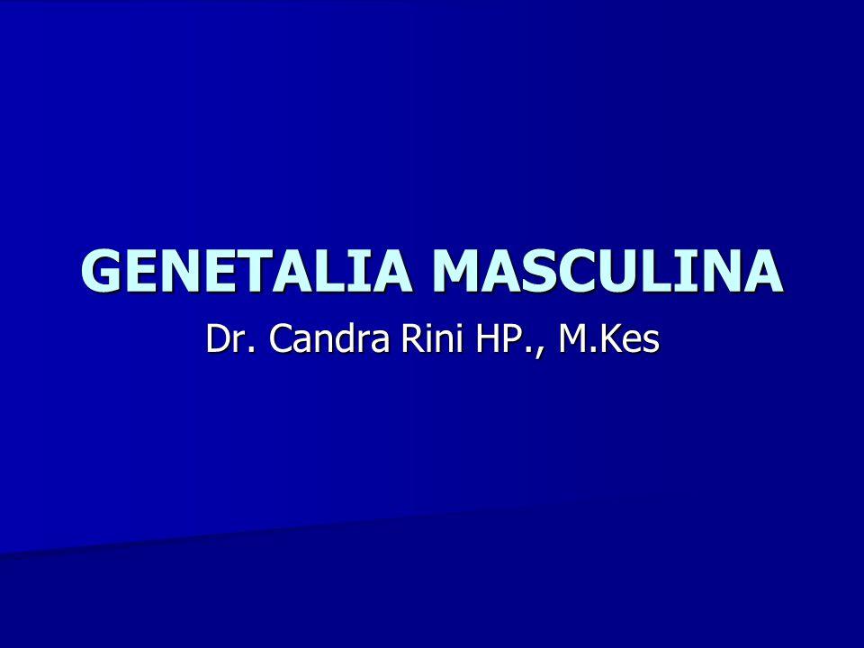 GENETALIA MASCULINA Dr. Candra Rini HP., M.Kes