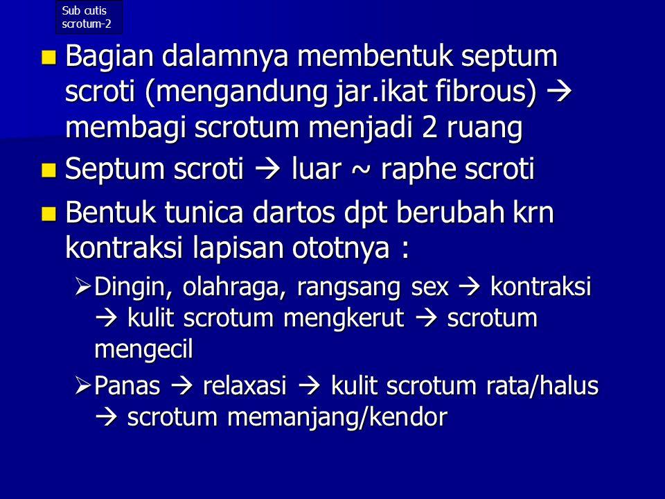 Septum scroti  luar ~ raphe scroti