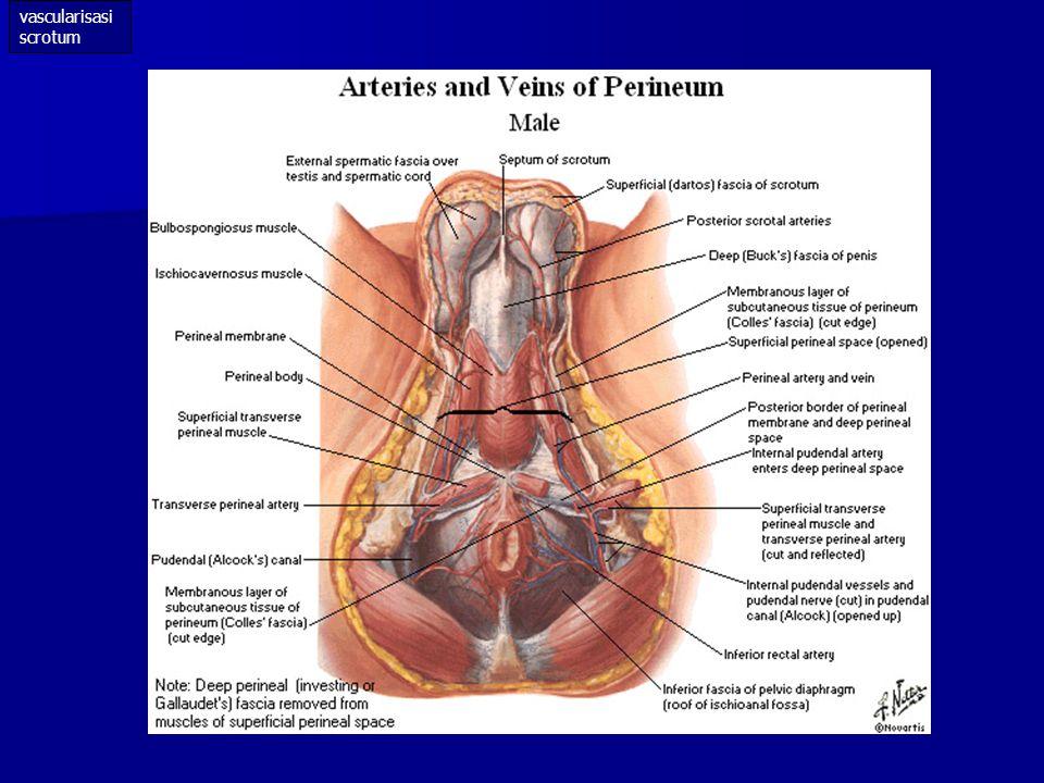 vascularisasi scrotum