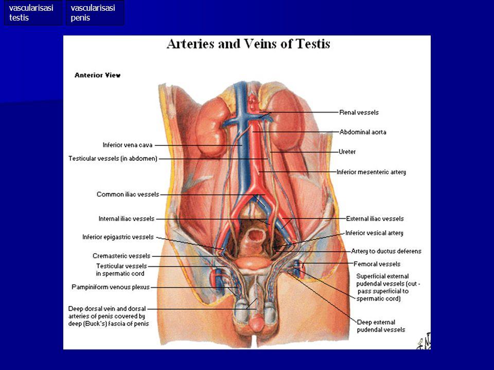 vascularisasi testis vascularisasi penis