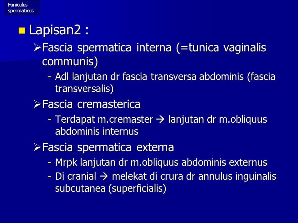 Lapisan2 : Fascia spermatica interna (=tunica vaginalis communis)