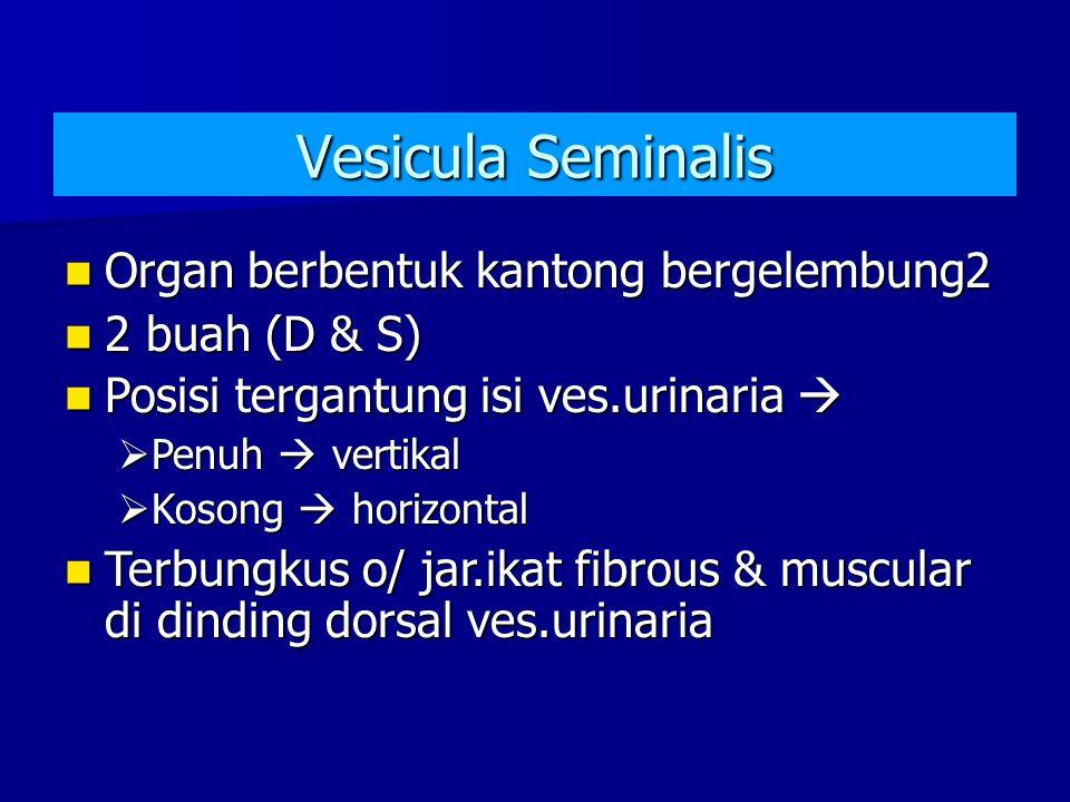 Vesicula Seminalis Organ berbentuk kantong bergelembung2