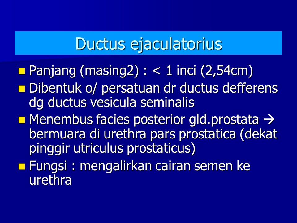 Ductus ejaculatorius Panjang (masing2) : < 1 inci (2,54cm)