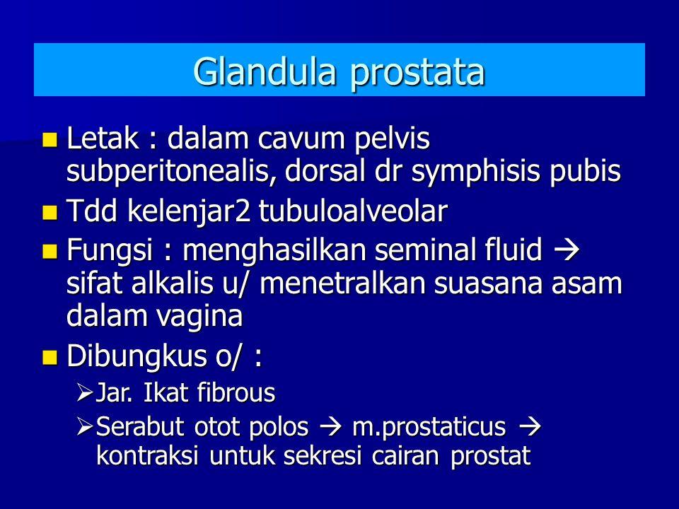 Glandula prostata Letak : dalam cavum pelvis subperitonealis, dorsal dr symphisis pubis. Tdd kelenjar2 tubuloalveolar.