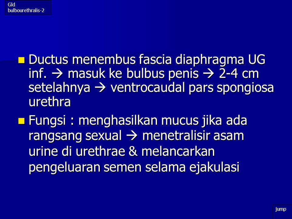 Gld bulbourethralis-2 Ductus menembus fascia diaphragma UG inf.  masuk ke bulbus penis  2-4 cm setelahnya  ventrocaudal pars spongiosa urethra.