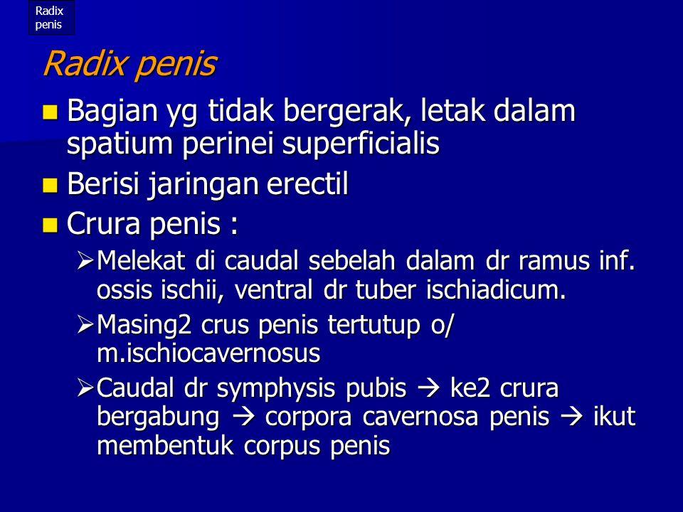 Radix penis Radix penis. Bagian yg tidak bergerak, letak dalam spatium perinei superficialis. Berisi jaringan erectil.