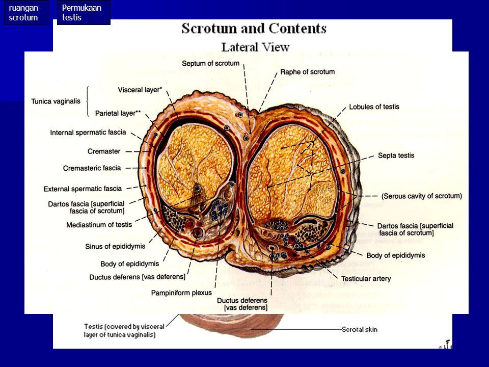 ruangan scrotum Permukaan testis