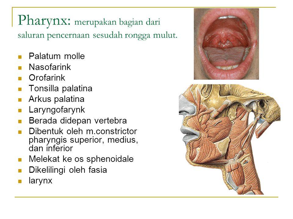 Pharynx: merupakan bagian dari saluran pencernaan sesudah rongga mulut.