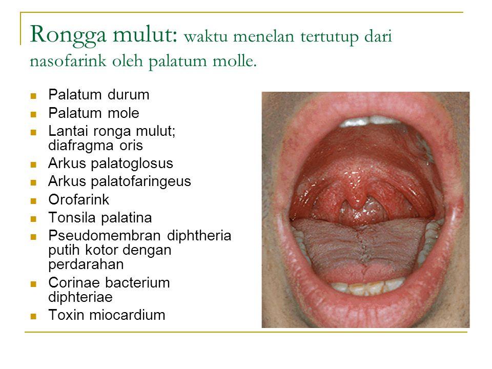 Rongga mulut: waktu menelan tertutup dari nasofarink oleh palatum molle.