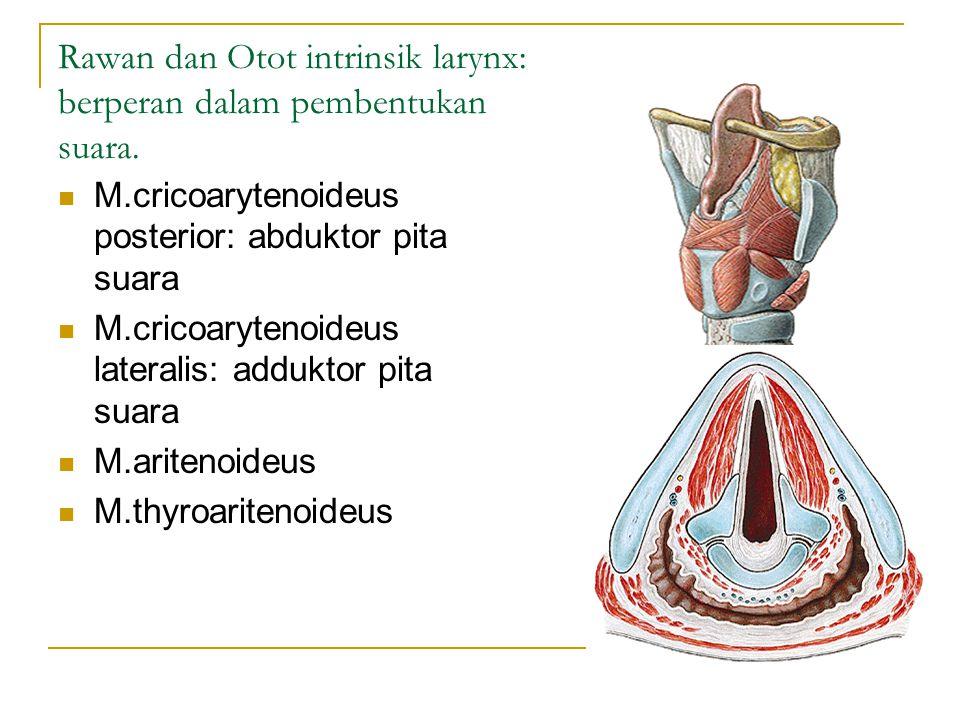 Rawan dan Otot intrinsik larynx: berperan dalam pembentukan suara.