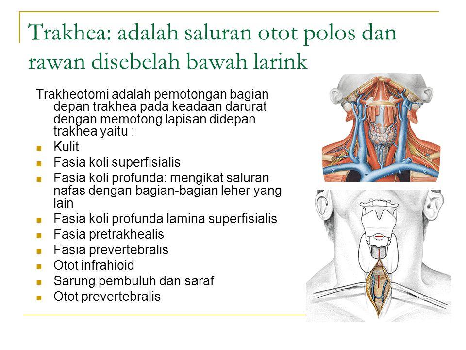 Trakhea: adalah saluran otot polos dan rawan disebelah bawah larink