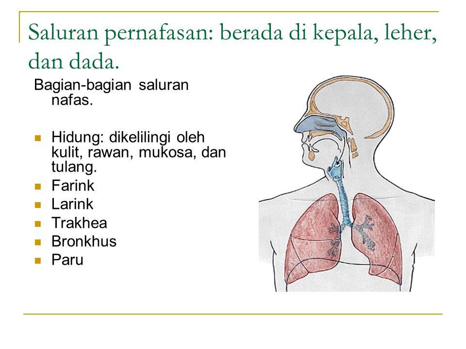Saluran pernafasan: berada di kepala, leher, dan dada.