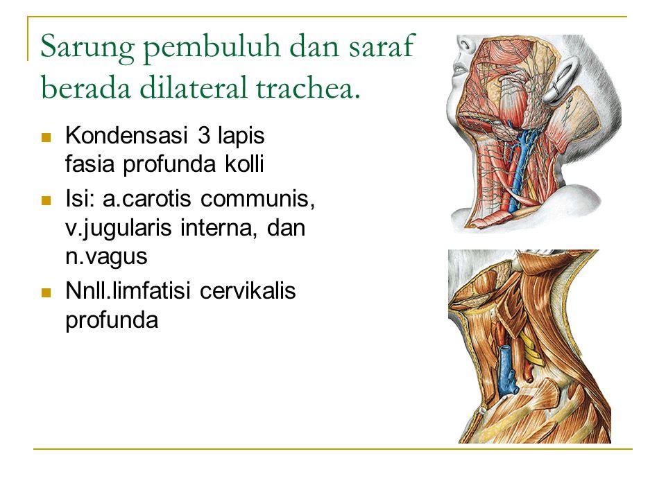 Sarung pembuluh dan saraf berada dilateral trachea.