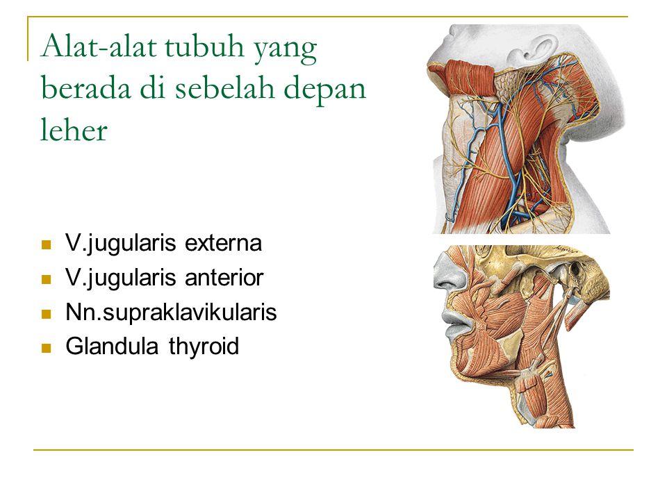 Alat-alat tubuh yang berada di sebelah depan leher